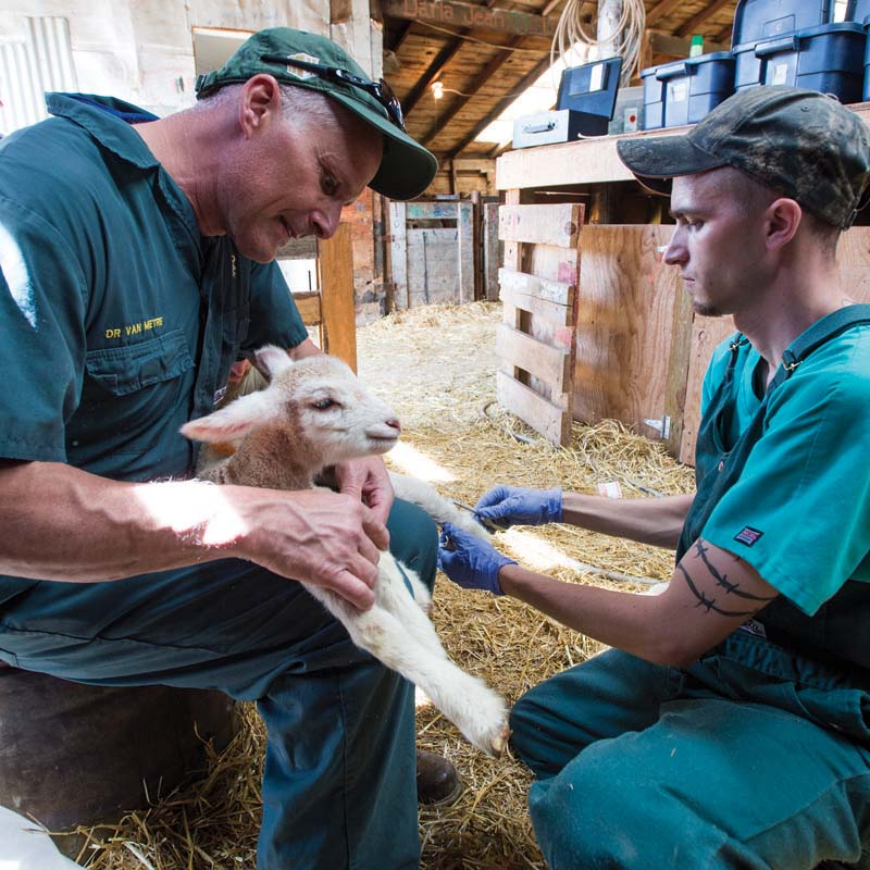 Dr. Dave Van Metre, left, holds a lamb as he and fourth-year vet student, Dalton Hindmarsh check it for radial nerve paralysis on one of it's front legs, Friday May 6, 2015, during a lambing practice at the lambing camp of the Warren Livestock Ranch in Wyoming. Photos by Richard Haro Photography. Images courtesy of Colorado State University.