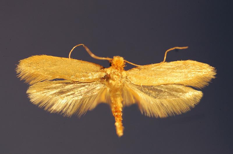 Kleidermotte (Tineola bisselliella). 2004. (Photo by Schellhorn/ullstein bild via Getty Images).