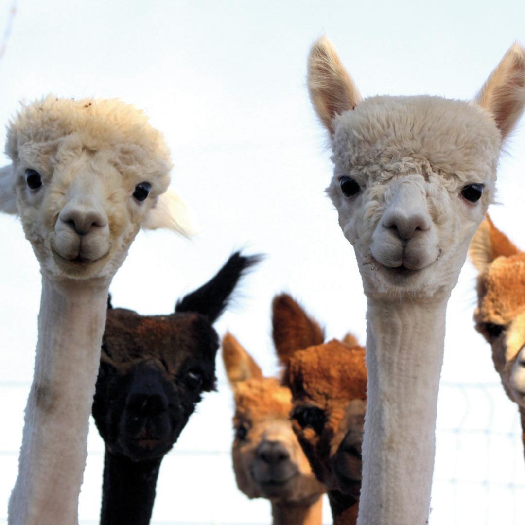 alpaca shearing
