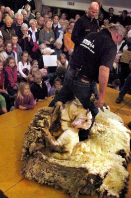 Shrek, the hermit merino sheep who has evaded shearing for six years by hiding in a cave during the annual muster, is shorn by world champion shearer Peter Casserly (C) in Cromwell, 28 April 2004, before 200 onlookers and on live worldwide television. Shrek's enormous 27kg fleece was removed in 20 minutes and will be auctioned for the cancer charity Cure Kids. AFP PHOTO/Steven JAQUIERY (Photo credit should read STEVEN JAQUIERY/AFP/Getty Images)