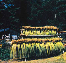 Learn about growing flax to spin in this FREE eBook on spinning flax + free projects.